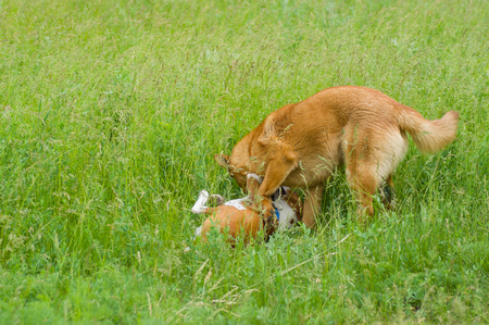 half breed: Two dogs fighting in spring grass Stock Photo