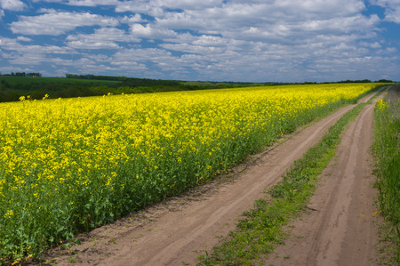 rapeseed: Spring landscape with rape-seed field in central Ukraine
