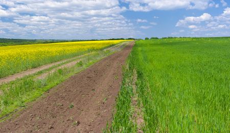 bio diesel: Spring landscape with rape-seed and wheat fields in central Ukraine