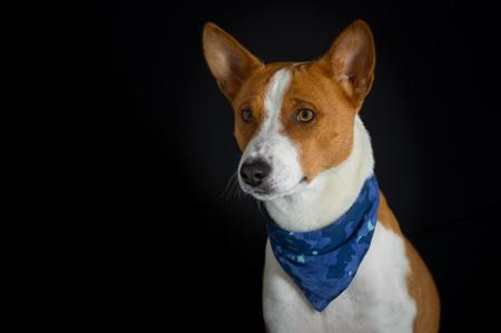kerchief: Low key portrait of stylish canine model - basenji dog male wearing blue kerchief Stock Photo