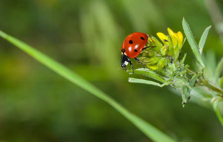 ladybird: Ladybird in search of plant-louse on the wild flower in the summer garden Stock Photo