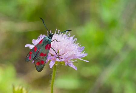 zygaena: Zygaena filipendulae butterfly on a summer wild flower Stock Photo