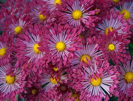 flowerbed: Natural background - dark-red aster flower-bed at autumnal season