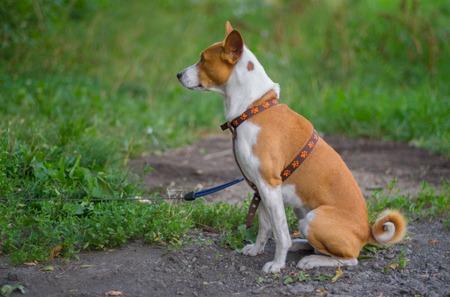 dof: Outdoor portrait (side view) of basenji dog sitting on the ground (shallow dof) at summer season