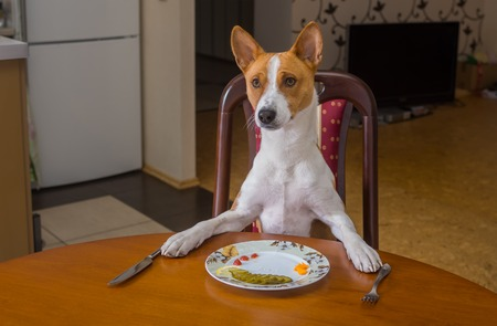 laughable: Cute Basenji is waiting for master-waiter would offer next course for the lunch
