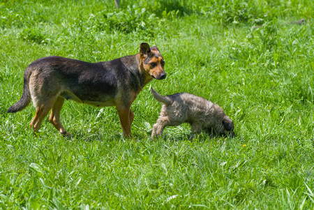 nursing mother: Nursing mother dog is teaching the puppy to search with smell Stock Photo