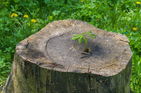plantlet: The life is going on - sprout of chestnut tree grows through an old stub Stock Photo