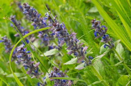 echium: Vipers Bugloss or Blueweed (Echium vulgare) field in natural environment in Ukraine