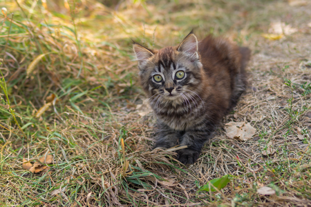 timorous: Tabby kitten looking up with interest while playing outdoor