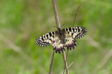 festoon: Southern Festoon (Zerynthia polyxena) butterfly in its habitat - in the field located in central Ukraine Stock Photo