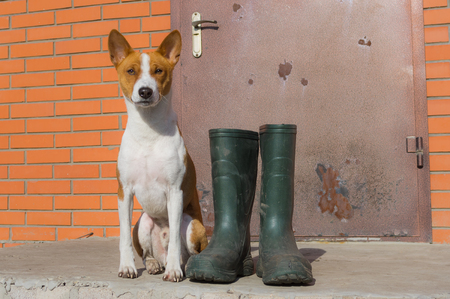 insists: Smart basenji doesnt like the idea of being dirty after spring outdoor strolls. It insists the master would buy such nice rubber boots for his pet too. Stock Photo