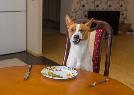 dissatisfaction: Basenji shows grimace of dissatisfaction sitting at the dinner table and  waiting for master-waiter would be more quicker in service