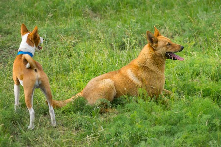 half blooded: Two dogs watching in spring grass. One is basenji, another - half-breed dog