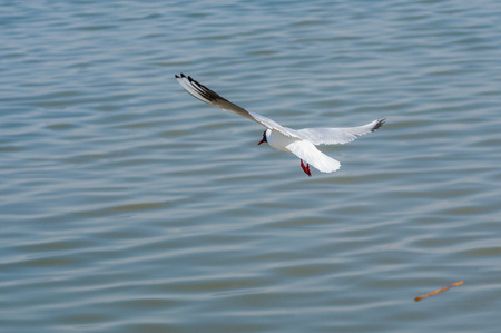 dnepr: Black-headed gull making trial flight over Dnepr river in Ukraine Stock Photo
