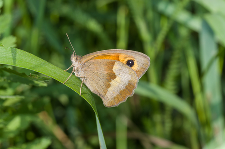 eyespot: Meadow brown (Maniola jurtina) butterfly sitting on a grass blade in shadows of summer herbs Stock Photo