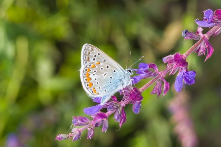 polyommatus icarus: Common Blue (Polyommatus icarus) butterfly searching nectar on a wild sage at summer season