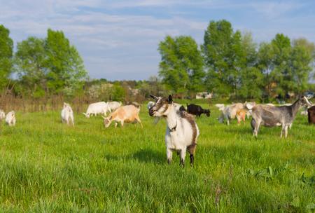 dof: Ukrainian milk goats on a spring pasture (shalow dof)