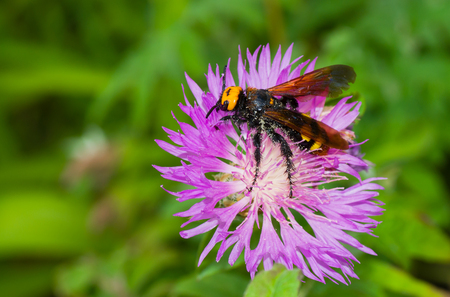 gathers: Big wasp-like insect gathers nectar from cornflowers in summer garden