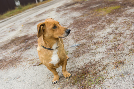half blooded: Outdoor portrait of cute cross-breed short-legged dog