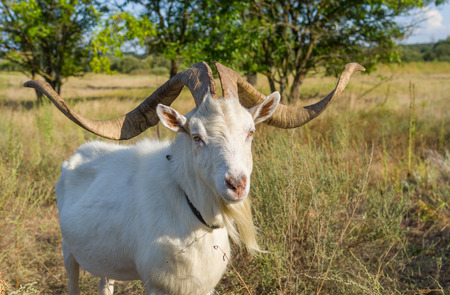 enormous: Portrait of Ukrainian goat with abnormally enormous horns Stock Photo