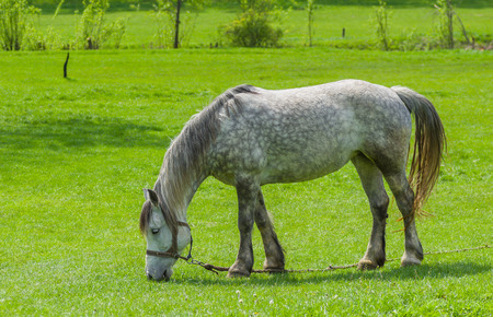 dappled: Dappled mare grazing on spring pasture Stock Photo
