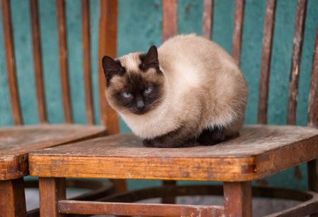 blue siamese cat: Beautiful siamese cat with blue eyes having rest on the old chair