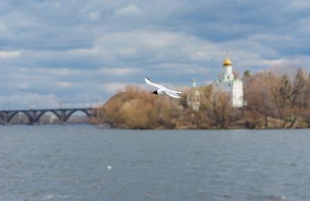 dnepr: Wild gull flying over Dnepr river in Ukraine