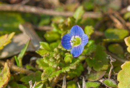 Veronica persica - one of the first tiny wild flower at early spring season in Ukraine,