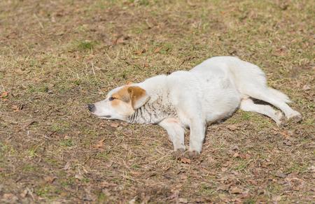 half blooded: Stray dog having first spring siesta