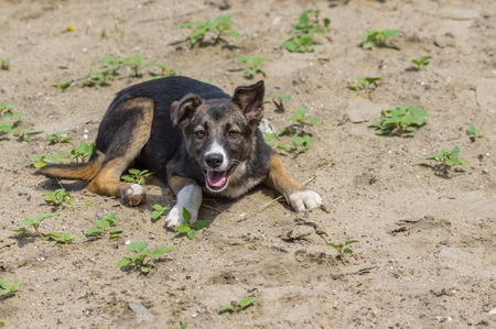 half blooded: Adorable street puppy having rest in a sandy place Stock Photo
