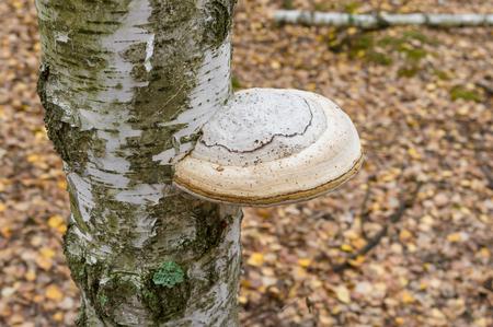 annihilation: Tinder fungus on a birch tree
