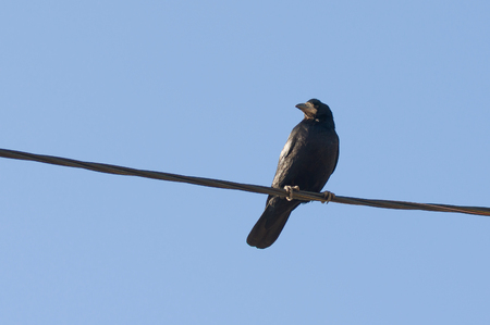 prudent: Cute raven sitting on the wire and looking over neighborhood