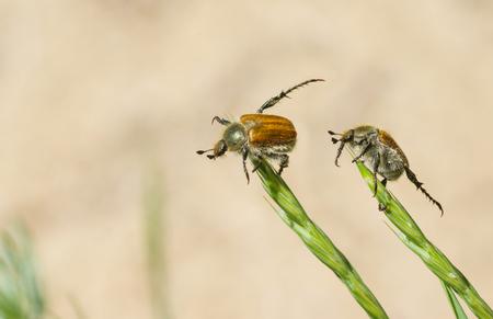 duet: Wildlife acrobatic duet - two fat beetles doing everyday exercises