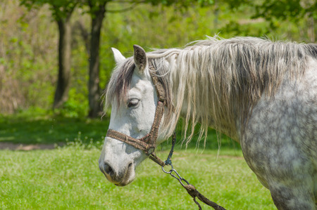 dappled: Portrait of dappled mare at spring pasture