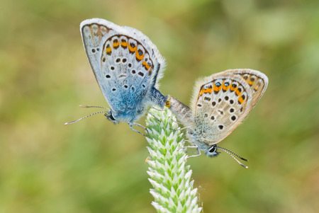 coitus: Pair of Common Blue (Polyommatus icarus) butterfly at reproductively motivated sexual behaviour