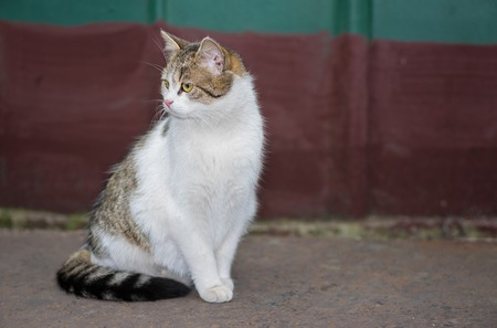 timorous: Beautiful ordinary cat (male) gracefully sitting on a street