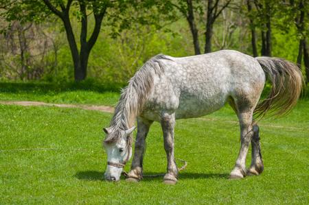 yegua: yegua moteada en los pastos de primavera
