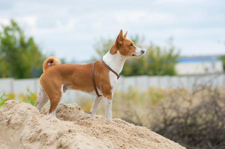 the distance: Brave basenji dog looking into the distance Stock Photo
