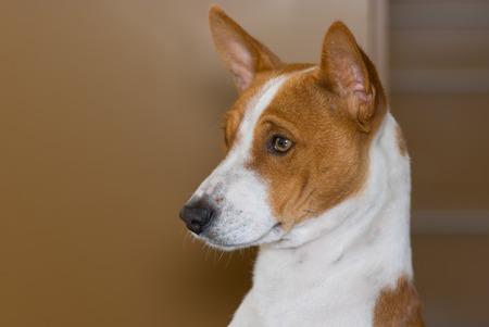 harmless: Indoor portrait of royal basenji dog (side view)