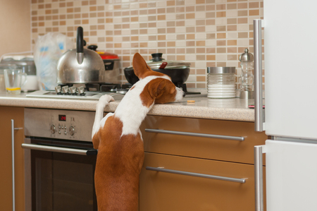 trustful: Kitchen alone - hungry  basenji dog is trying to reach for a cookie left by master Stock Photo
