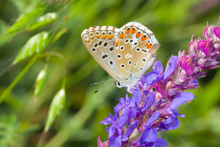 common blue: Common Blue (Polyommatus icarus) butterfly on a wild sage at summer season Stock Photo