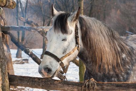 Portrait of cute horse having sleep in winter open stall