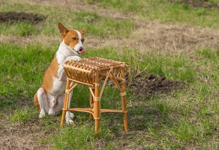 canine: Canine rest in a garden - smart basenji dog shows silly master where to put plate with canine lunch Stock Photo