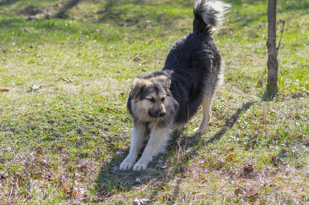 outcast: Positive stray dog stretching itself after long winter inactivity