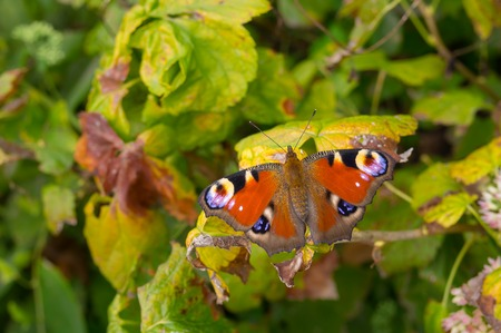 eyespot: European Peacock butterfly sitting on a vine leaf in autumnal garden closeup Stock Photo