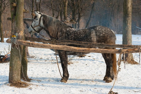 quadruped: Lonely dappled mare in winter outdoor stall