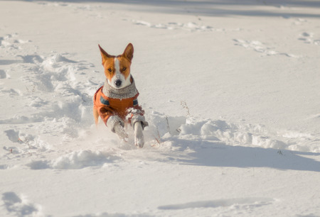 the descendant: Cute descendant of African ancestors (basenji) galloping in fresh snow Stock Photo
