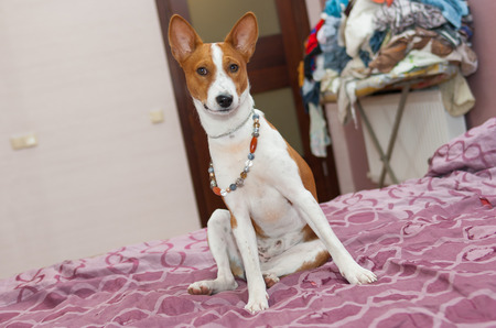 trustful: Morning scene in a bedroom of lazy basenji dog