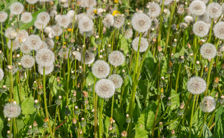 insipid: Field with retired dandelions closeup Stock Photo