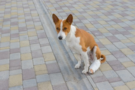 hind: Basenji dog with broken bandaged hind feet sitting on a pavement Stock Photo